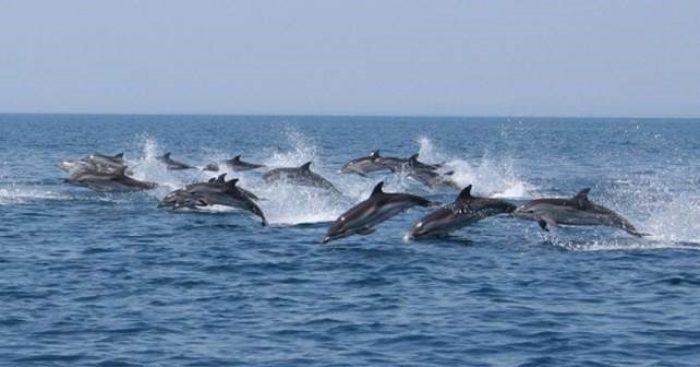 Dolphins – Tyrrhenian Sea