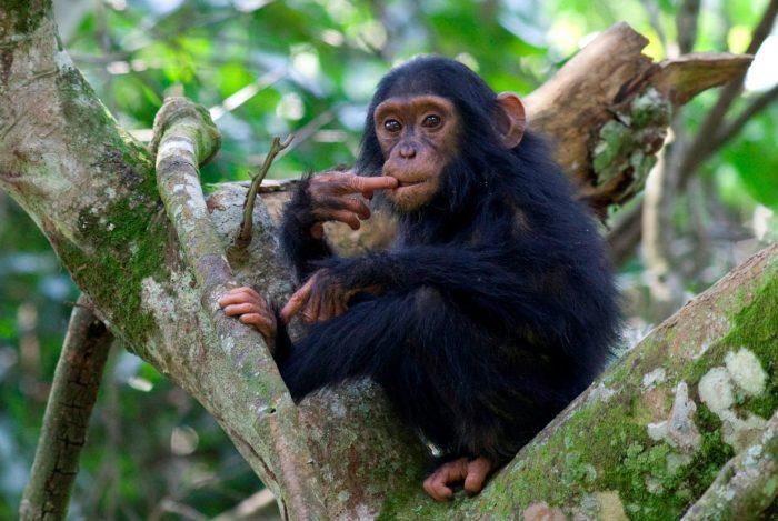 Volcanoes Safaris - chimpanzee